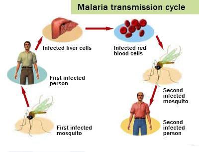ciclo della malaria.jpg
