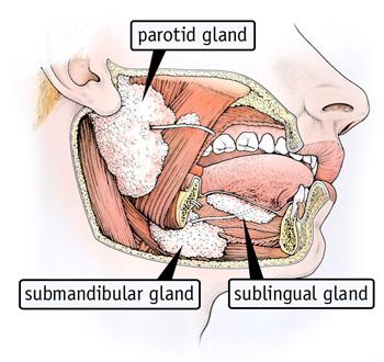 ghiandole salivari schema.jpg