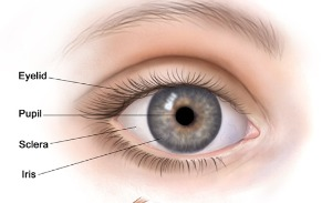 occhio esterno anatomia21.jpg