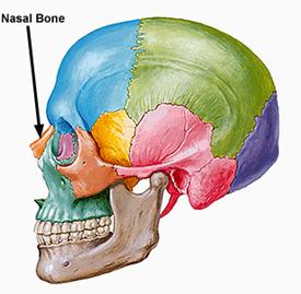 osso nasale.jpg