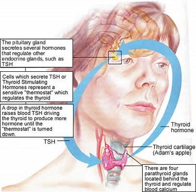 tiroide e pituitaria.jpg