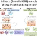 L'influenza suina [H1N1]