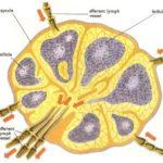 Linfonodi ingrossati: cause e terapie