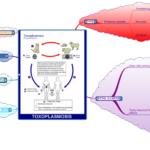 Toxoplasmosi: sintomi, cause, complicazioni e cure