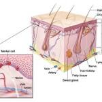 Carcinoma a cellule di Merkel : sintomi, cause, fattori di rischio e cure