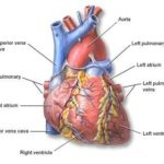Miocardite : sintomi, cause, cure e prevenzione