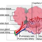 Malattia polmonare interstiziale : sintomi, cause, diagnosi e cure