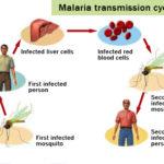 Malaria : sintomi, cause, cure e prevenzione