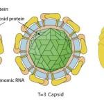struttura del virus zika